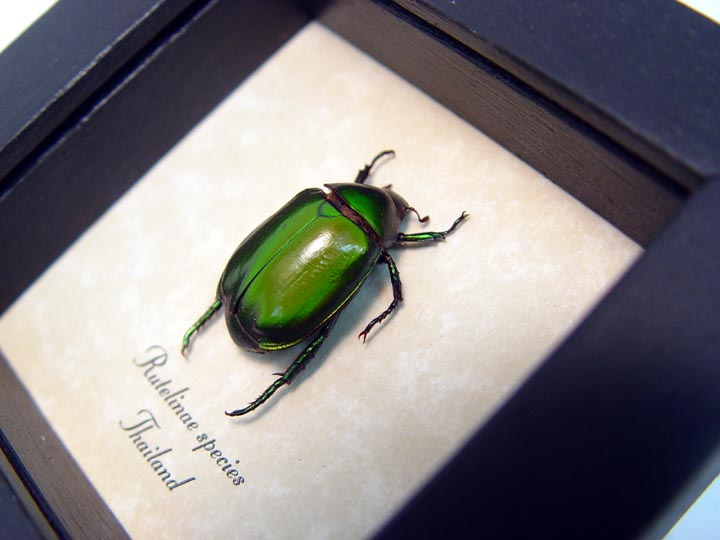 Rutelinae Green Leaf Beetle