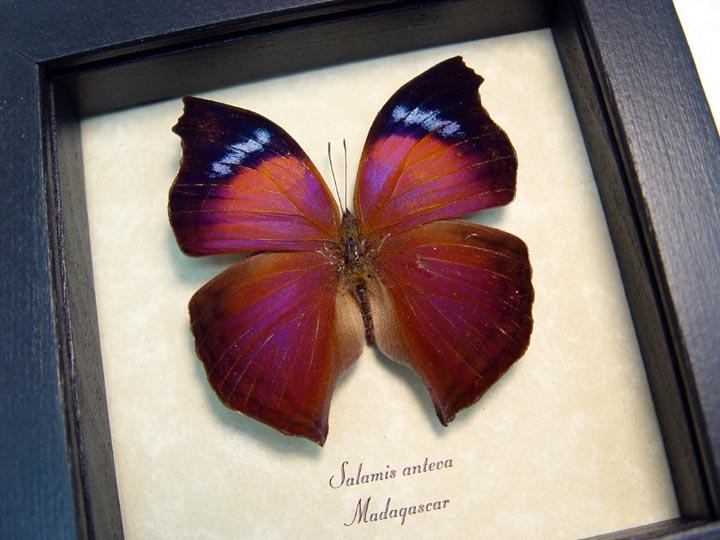 Salamis anteva Purple Orange Hatchet