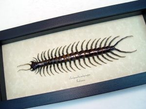 Scolopendra subspinipes Poisonous Centipede