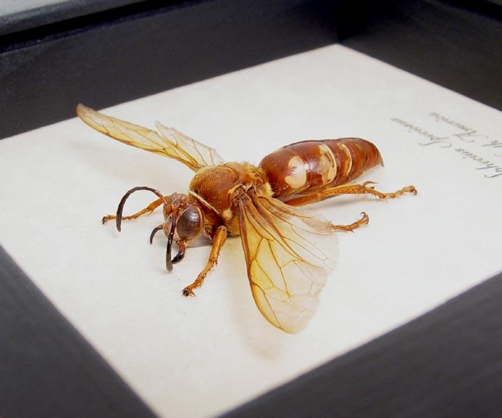 Sphecius speciosus Cicada Killer Wasp