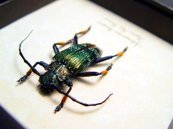 Sphingnotus insignis Green Longhorn