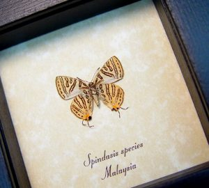 Spindasis species verso Silverline Butterfly