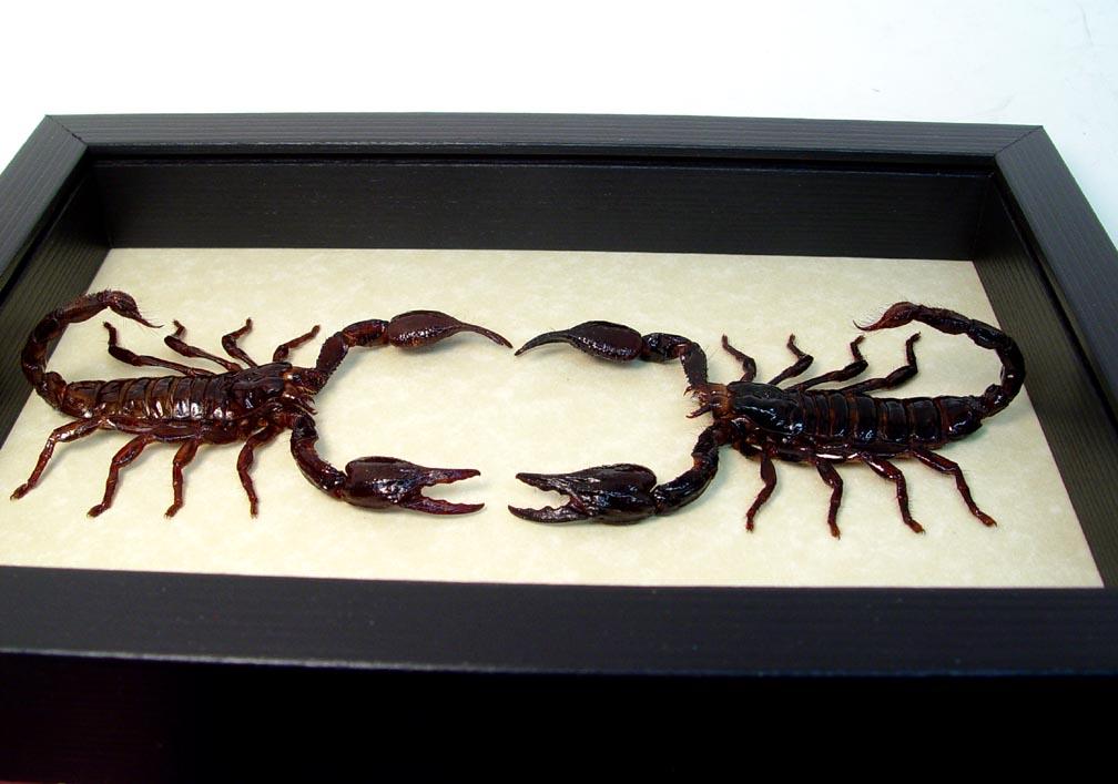Heterometrus laoticus Scorpion Wars