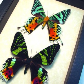 sunset-moth-pair real framed moth set by Butterfly-Designs