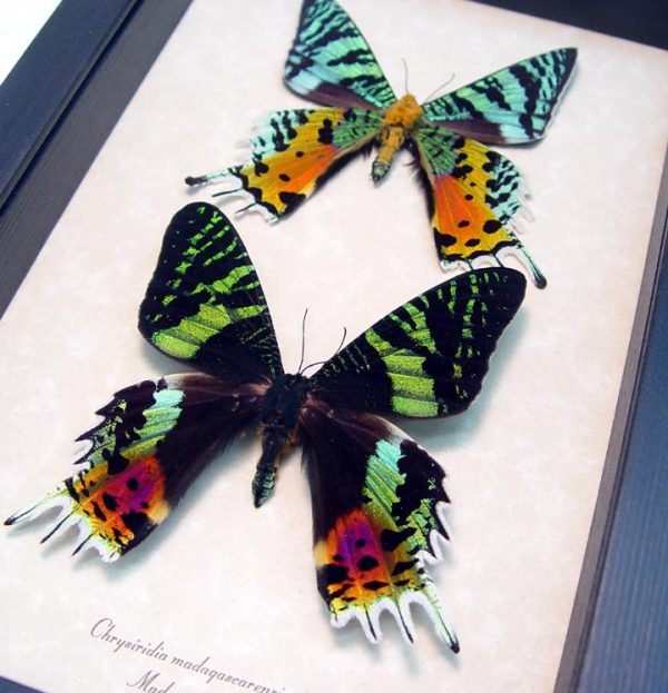 Framed Moths From Around the World
