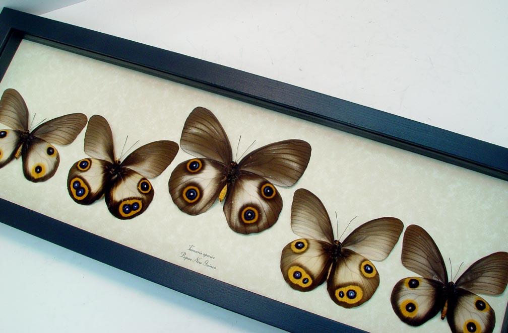 Taenaris Collection Set Silky Owl Butterflies