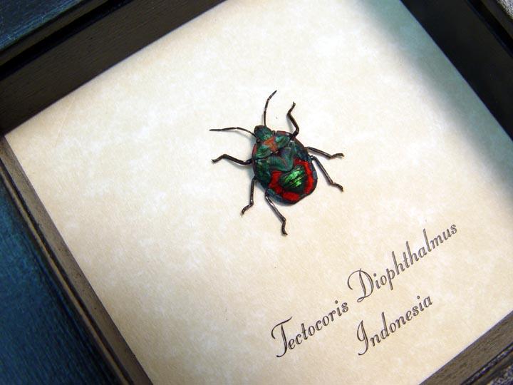 Tectocoris diophthalmus Harlequin Bug