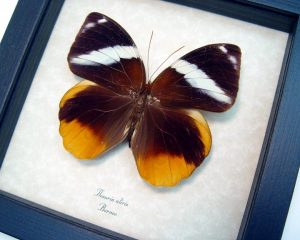 Thauria aliris Tufted Jungleking Butterfly