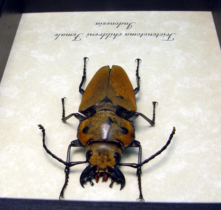 Trictenotoma childreni Female Stag Beetle