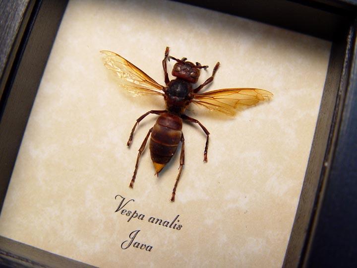 Vespa analis Gold Tip Hornet