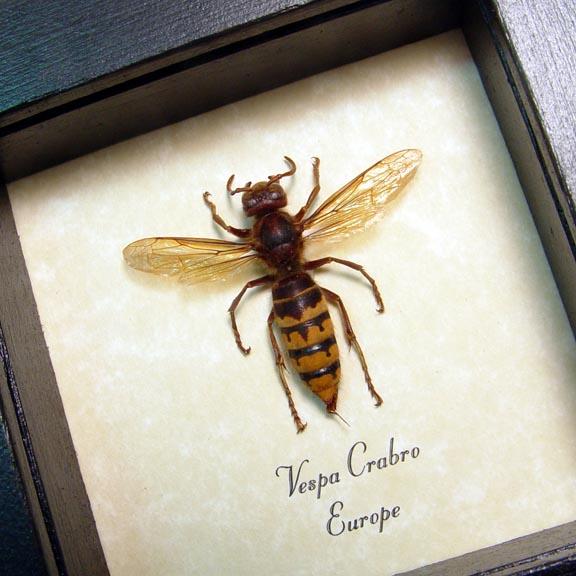 Vespa crabro Banded European Hornet