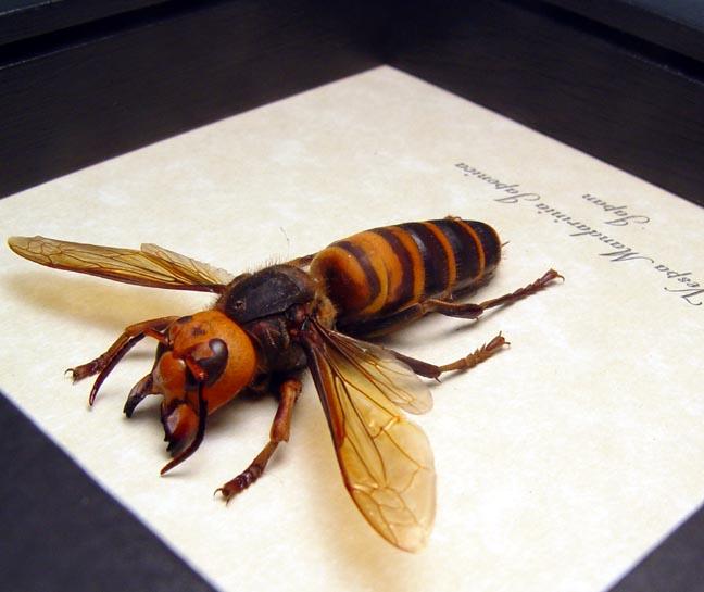 Murder Hornet Vespa mandarinia japonica Asian giant Hornet