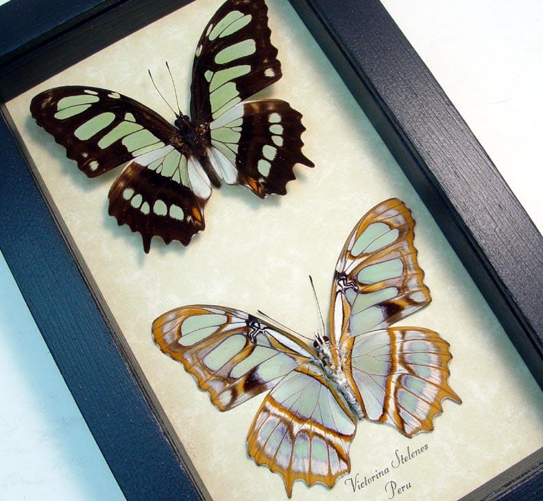 Victorina stelenes Malachite Green Butterflies