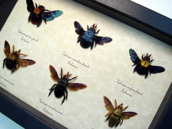 Xylocopa Sp Carpenter Bee Collection