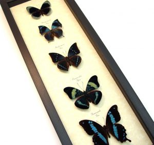 Blue Green Butterfly Collection Real Framed Butterflies ooak