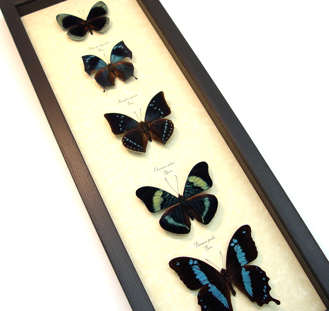 Blue Green Butterfly Collection Real Framed Butterflies