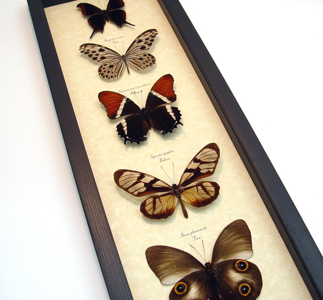 Brown Leather Butterfly Collection Real Framed Butterflies ooak