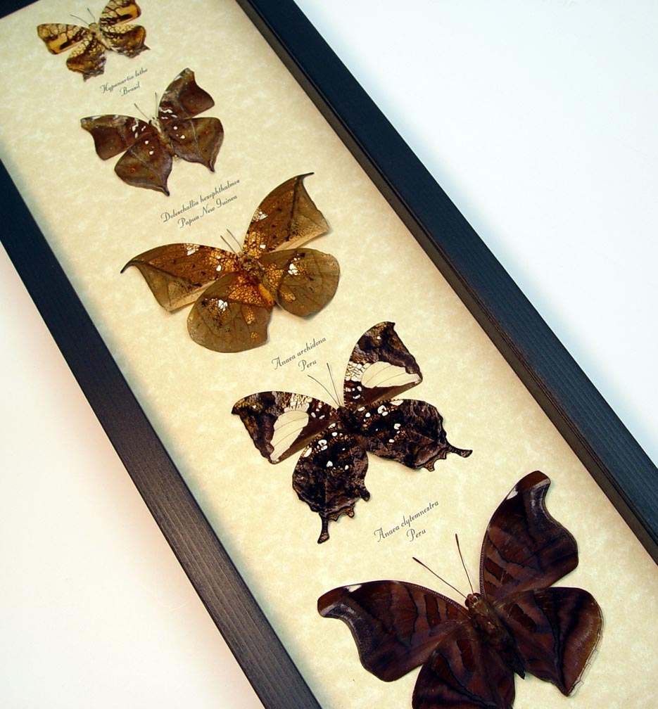 Dead Leaf Mimic Butterfly Collection Real Framed Butterflies