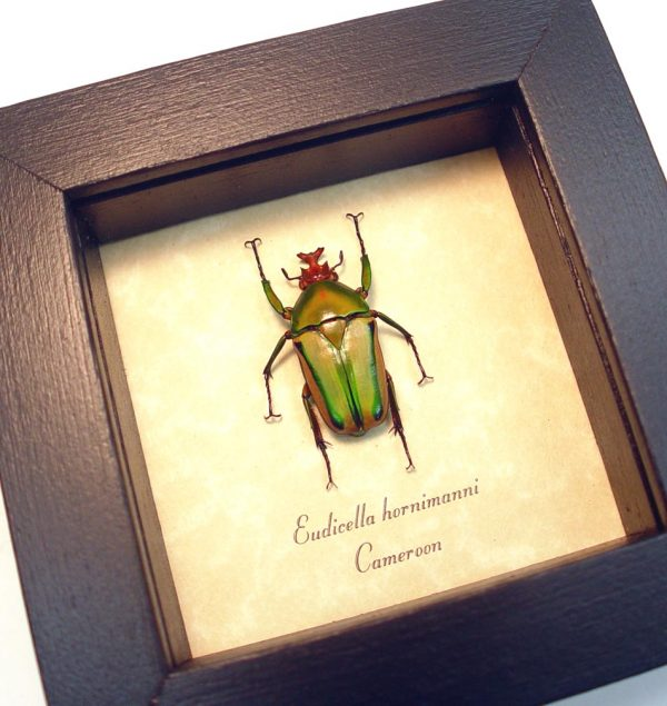 Eudicella hornimanni male Orange African Beetle ooak
