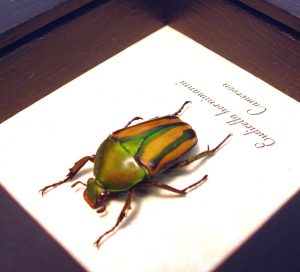 Eudicella hornimanni Female Orange African Beetle