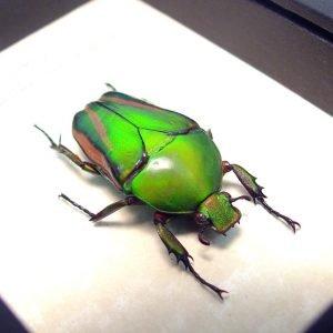 Eudicella morgani camerunensis Female Multi African Beetle ooak