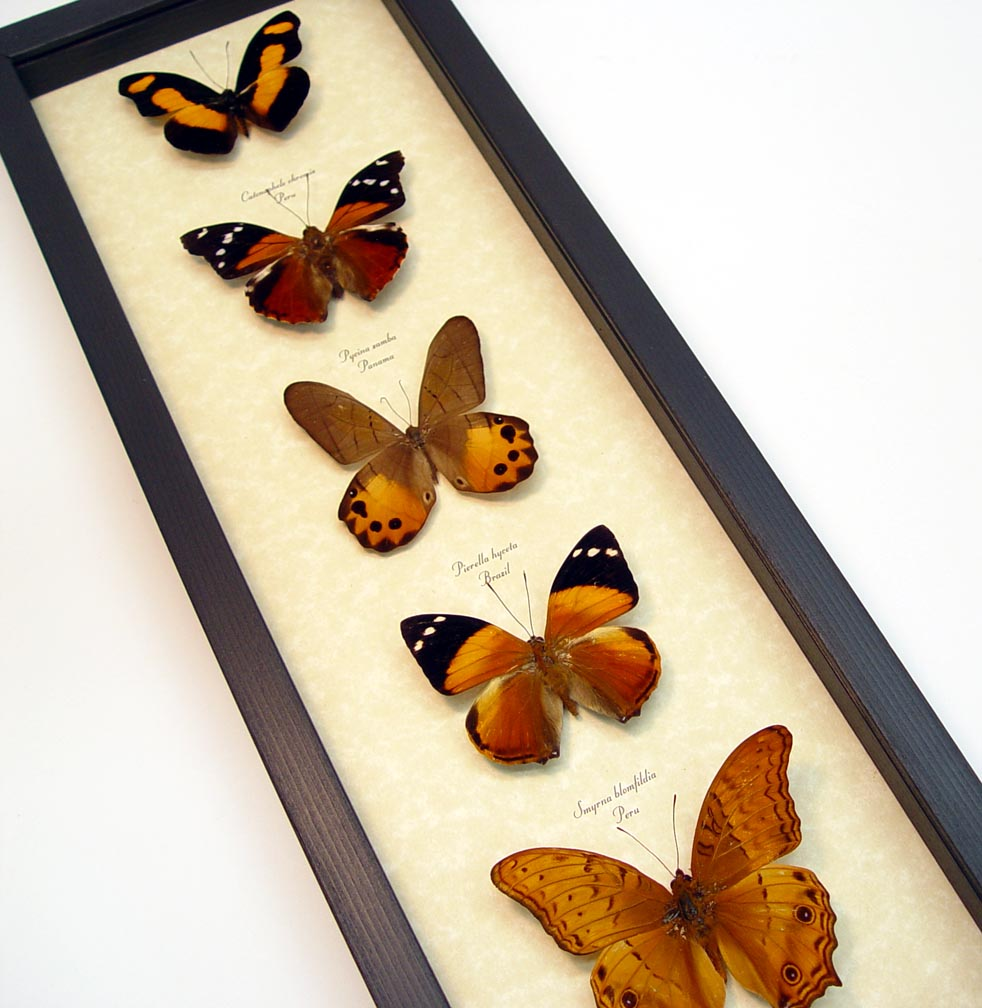 Golden Sunrise Butterfly Collection Real Framed Butterflies