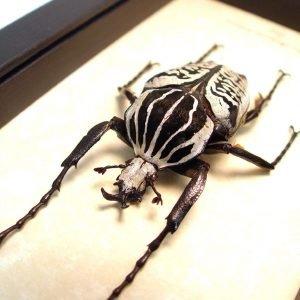 Goliathus albosignatus kirkianus 62mm Scarab Beetle ooak