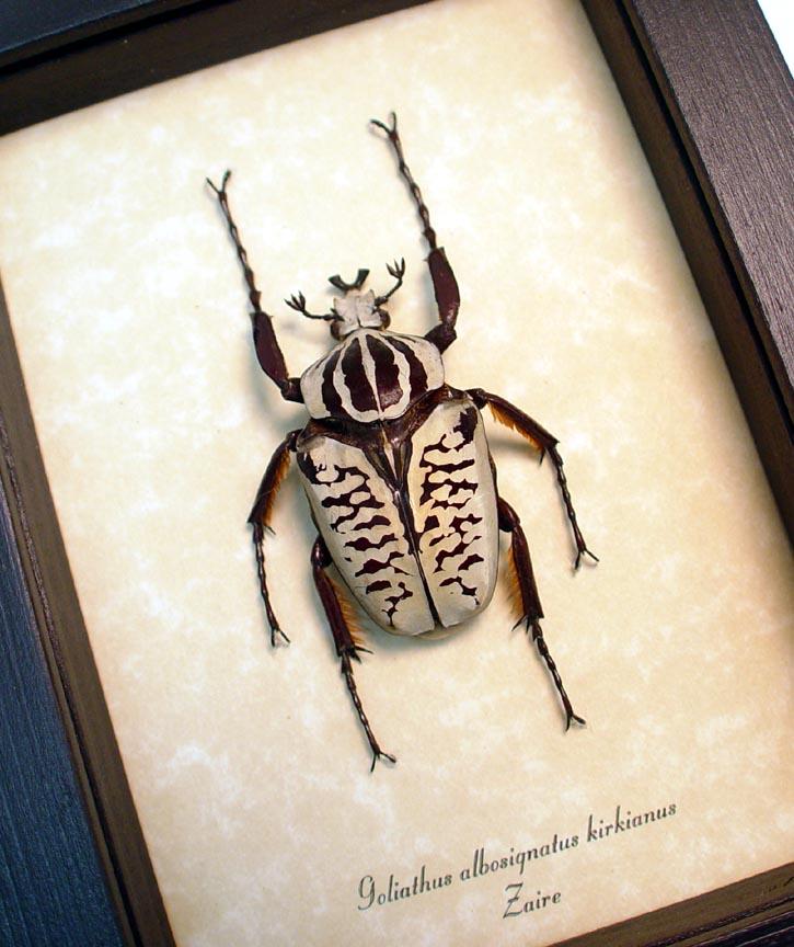 Goliathus albosignatus kirkianus 50MM Scarab Beetle ooak