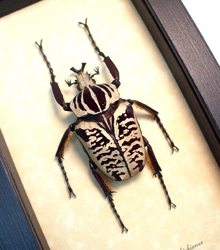 Goliathus albosignatus kirkianus 63mm Scarab Beetle