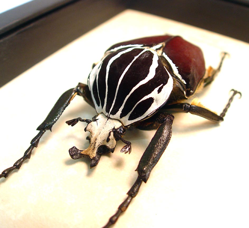 Goliathus Goliatus Male 82mm Goliath Beetle ooak