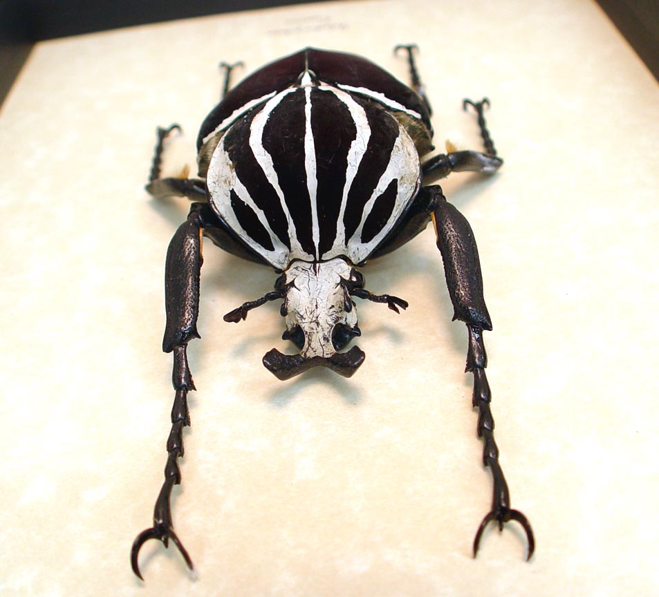 Goliathus Goliatus Male 99mm Goliath Beetle ooak