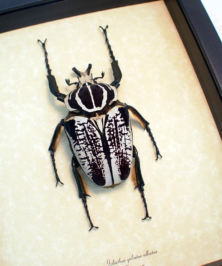 Goliathus goliatus albatus Goliathus Beetle 92mm ooak