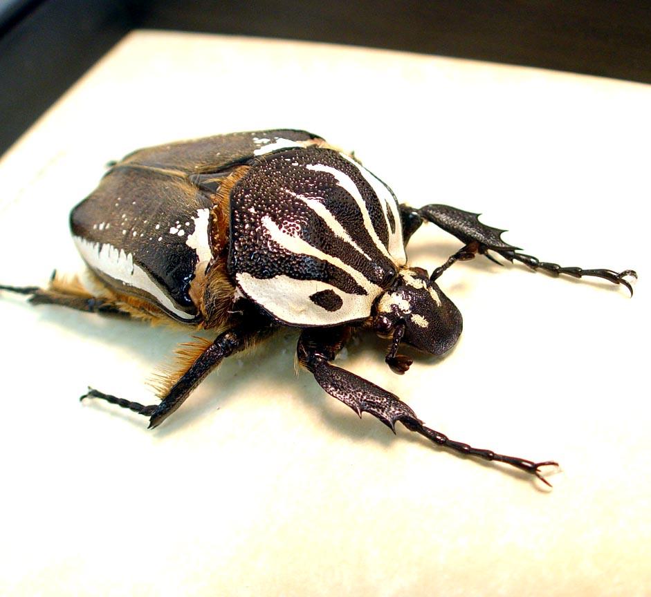 Goliathus goliatus apicalis Female Goliathus Beetle 75mm ooak