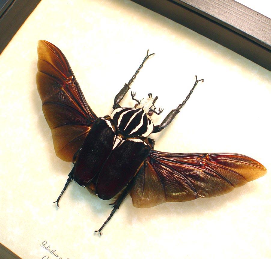 Goliathus goliatus 68mm Flying Goliath Beetle ooak
