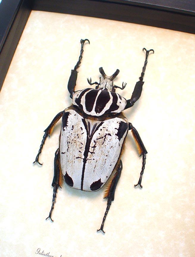 Goliathus Goliatus Quadrimaculatus Goliath Beetle 93mm
