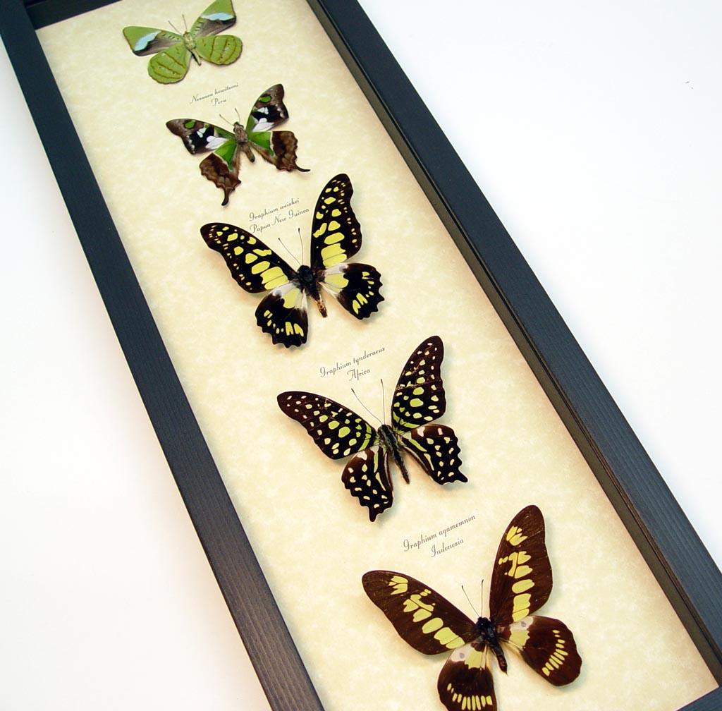 Green Butterfly Collection Real Framed Butterflies ooak