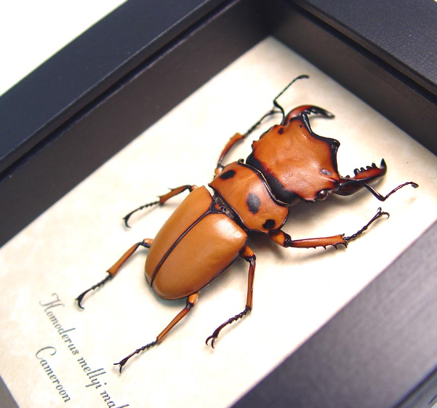 Homoderus mellyi Male 52mm Hummer Beetle