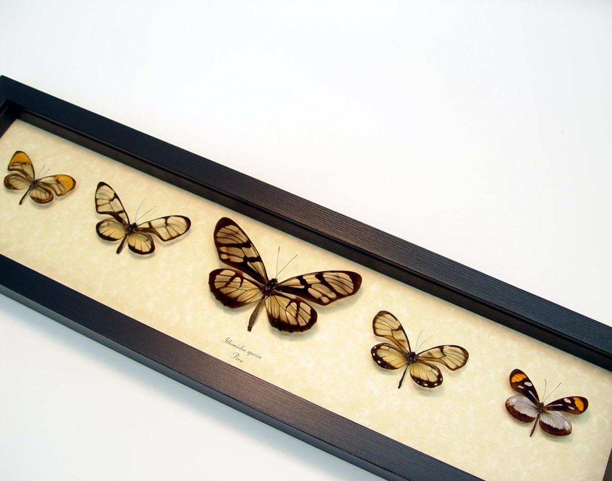 Ithomiidae Butterflies Glasswing Butterfly Collection ooak