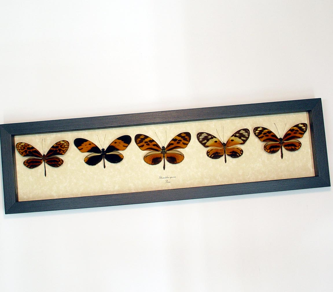 Ithomiidae Butterflies Orange Tiger Butterfly Collection ooak
