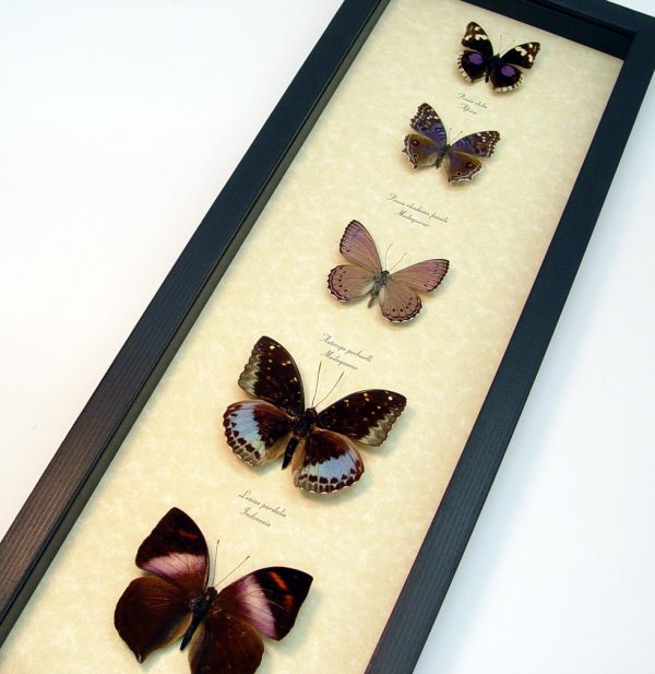 Lavender Butterfly Collection Real Framed Butterflies ooak