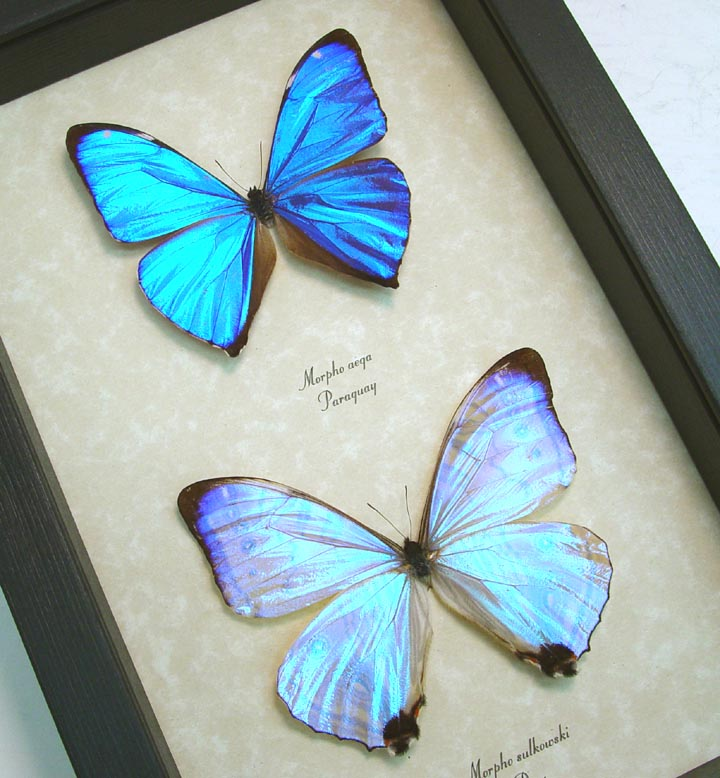 Mother's Day Butterflies Morpho Aega Morpho sulkowski Set