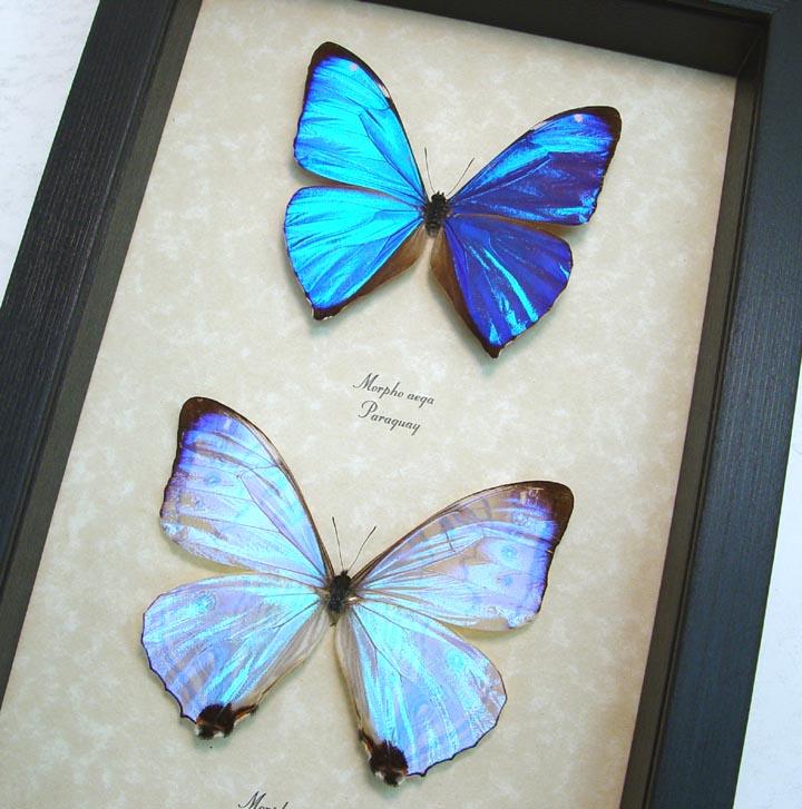 Metallic Blue Morpho Butterflies Morpho Aega Morpho sulkowski ooak