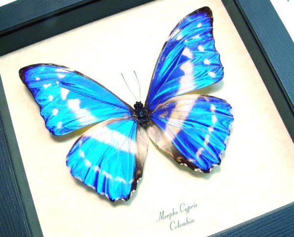 Morpho cypris Blue Morpho Butterfly