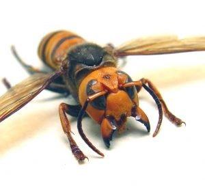 OOAK Vespa mandarinia japonica Murder Hornet
