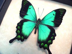 ooak Papilio lorquinianus albertisi Green Swallowtail Butterfly