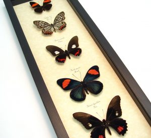 Pink Butterfly Collection Real Framed Butterflies ooak