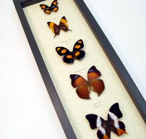 Purple Orange Butterfly Collection Real Framed Butterflies ooak