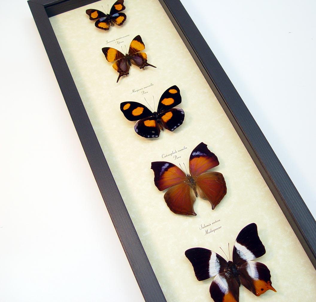Purple Orange Butterfly Collection Real Framed Butterflies ooak
