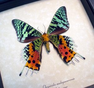 ooak Sunset Moth Verso Madagascar Moth