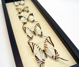 Wedding White Swallowtails Framed Butterfly Collection